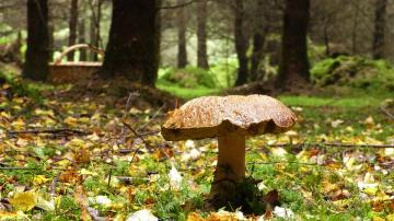 Big mushroom in the forest. - Big mushroom in the forest.