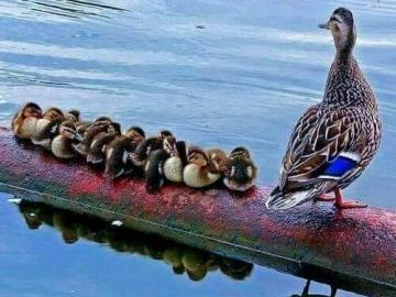 Entenfamilie. - Duck family over the water