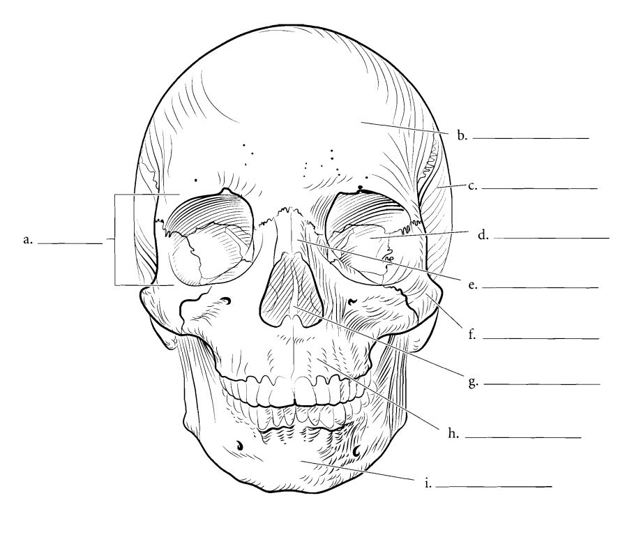 Koponya - vázrendszer - Koponya - fej csont puzzle (5×5)