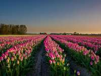 Tulip field - A beautiful landscape. Tulip field in the Netherlands.