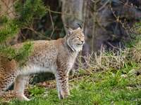 Een prachtige lynx in het bos