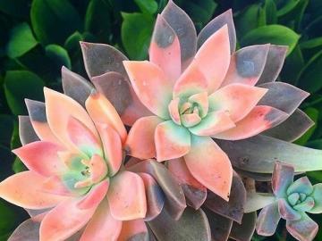 Kaktusy  . - Kolorowe   kaktusy  .