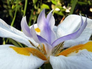 Hermosa flor - iris. - Hermosa flor - iris.