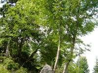 Arbre avec pierre - Vue d'un arbre avec une pierre dans les monts des géants.