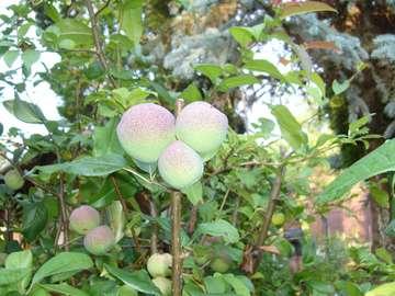 Albero di mele cotogne - Foto scattata sulla trama Frutta mela cotogna