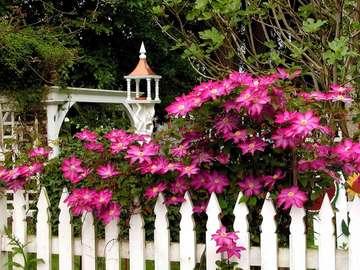 Clématite sur une clôture blan - Clématite sur une clôture blanche.