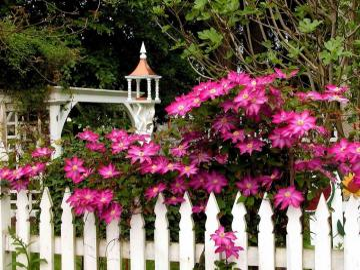Clematis on a white fence. - Clematis on a white fence.