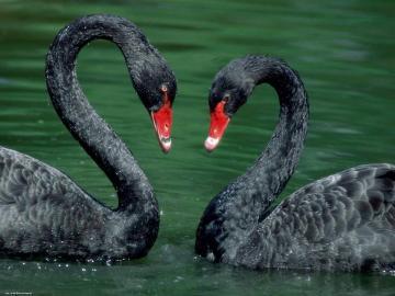 Deux beaux cygnes noirs. - Deux beaux cygnes noirs.
