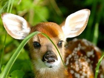 Petit cerf rouge. - Petit cerf rouge dans l'herbe.