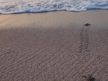 Żółwiki. - żółwiki drałujące do wody