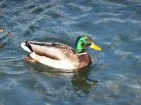 Mireille l'abeille - Joli canard nageant sur les eaux tranquilles du Doubs