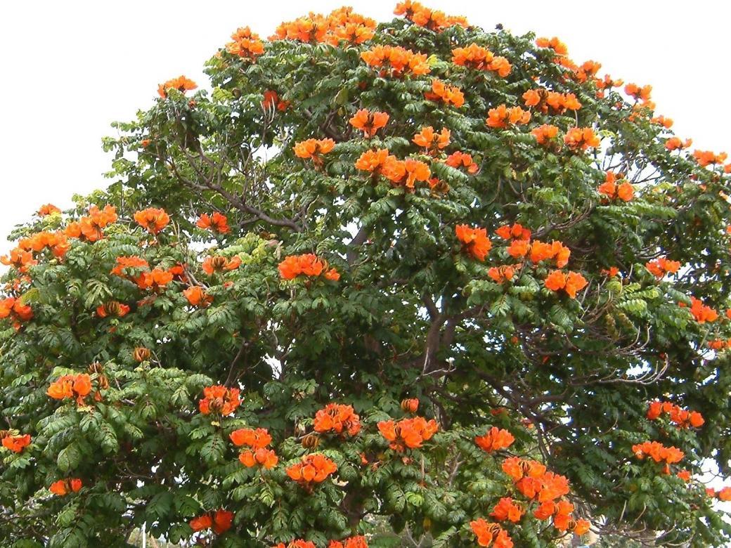 Árvore de florescência na Madeira (11×11)