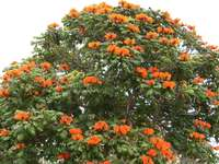 Kwitnace drzewo na Maderze.
