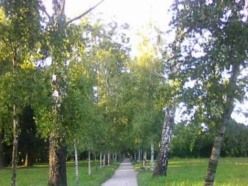 Birkenallee im Park - Ein Spaziergang zwischen den Birken bringt Ruhe und Trost.