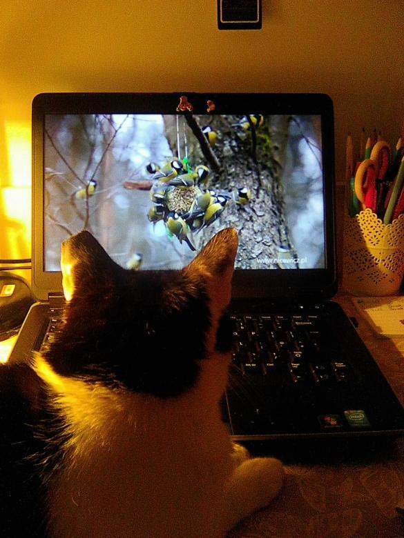 Gato e chapim - Até os gatos já são viciados em internet (10×9)