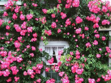 Egy ablak rózsákban. - Virágok kategória. Egy ablak rózsákban.