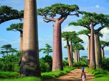 Baobab wielkie drzewa - Baobab afrykański to wielkie drzewo