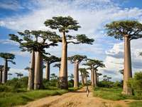 A large African tree - A large African tree