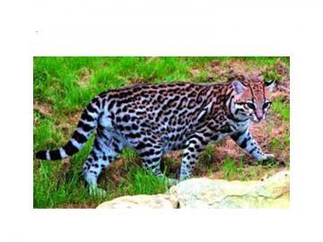 ocelotkot - Zcjęcie ocelota w środowisku naturanym. Występuje na terenach Amryki Południowej i Północnej.