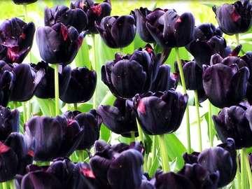 Tulipe-reine de la nuit - Tulipe noire-reine de la nuit