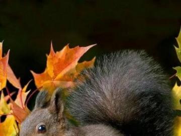 wiewióreczka i liście jesienne - takie małe rude a takie zwinne. Ładny obrazek,liście jesienne. Piękne liście jesienne. Koloro