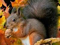 veverka a podzimní listí