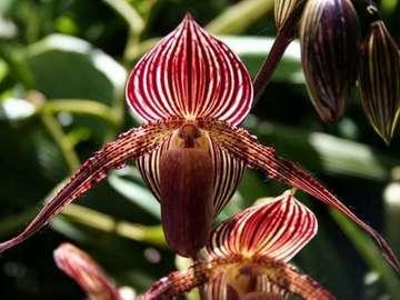 Medinilla - Medinilla-fleur de Madagascar sur les îles Philippines