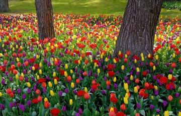 Colorful tulips in the park. - Colorful tulips in the park.