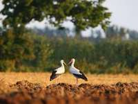 Two storks - Two storks in the meadow