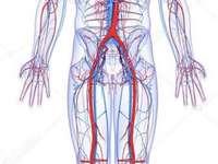 Sistema circulatório - Alterar a composição da imagem