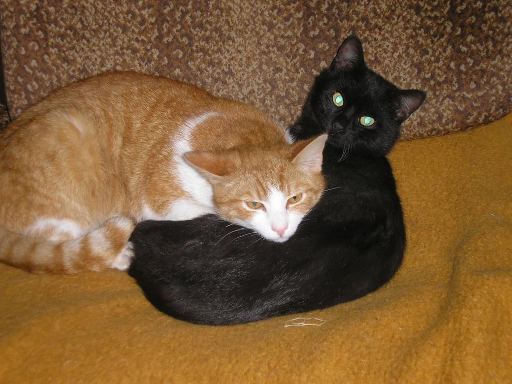 vrienden - Twee katten zijn al sinds hun geboorte bevriend (11×11)