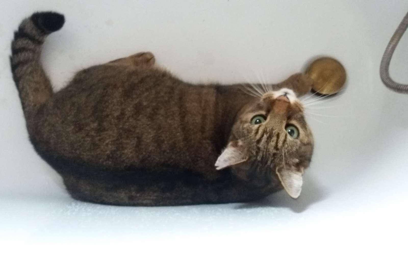de kat ligt in het bad - De oude kat ligt in de badkuip (9×8)