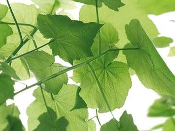 vine - vine leaves on the kitchen wallpaper