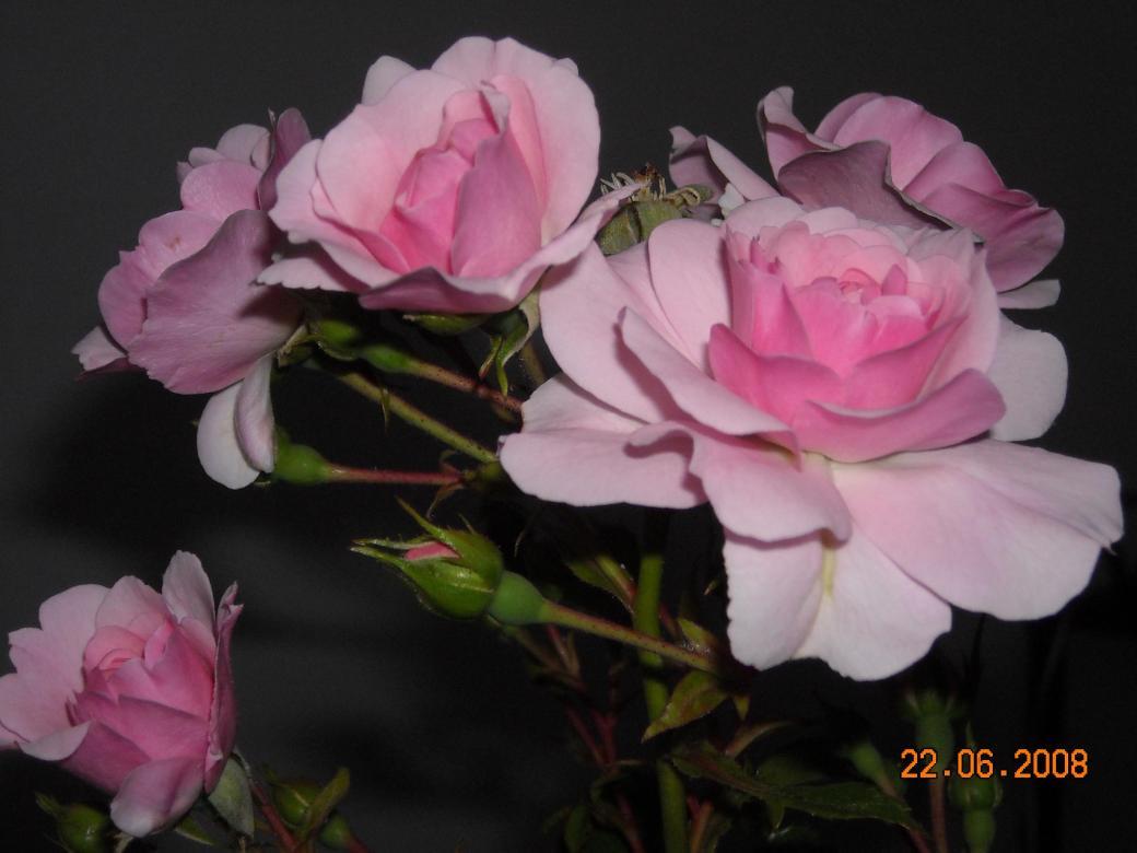kerti rózsa - Kerti rózsák. Gyönyörű rózsák a Boyja kertjéből. A kertben az utolsó rózsa megpréselt (14×11)