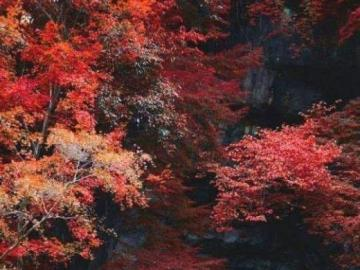 Colorful trees in autumn - Colorful trees in autumn. Autumn leaves of red color. Beautiful autumn leaves.