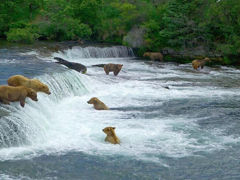 Osos en Alaska.