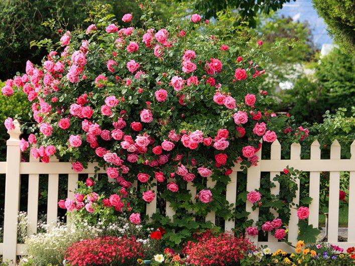 Hegymászás rózsa - Fehér kerítés kerítés. Gyönyörű kertek. Fehér kerítés és mászó emelkedett mellette. Kúszó rózsa egy fehér kerítésen. Gyönyörű kertek (11×10)
