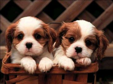 two beautiful dogs - they are two beautiful dogs. They would look like two cockers, or crossbreeds with this breed. they