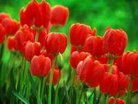 Tulipes rouges. - Belles tulipes rouges.
