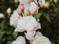 Красиви бели рози на храста