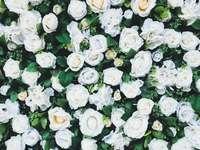 Overal witte rozen