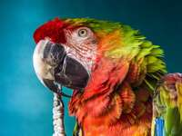 Loro guacamayo increíble - Ara es un tipo de aves grandes de la subfamilia de loros neotropicales en la familia de loros. Inclu