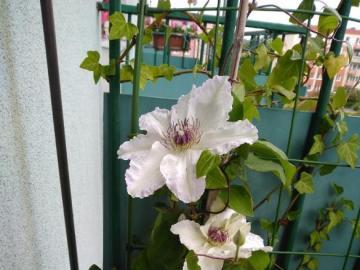 powojnik - piękny biały kwiat