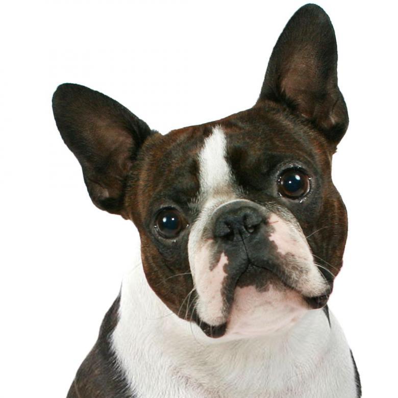 Boston Terrier - Cachorro boston terrier. Imagen de un perro boston terrier. Boston terrier - szczeniak (2×3)