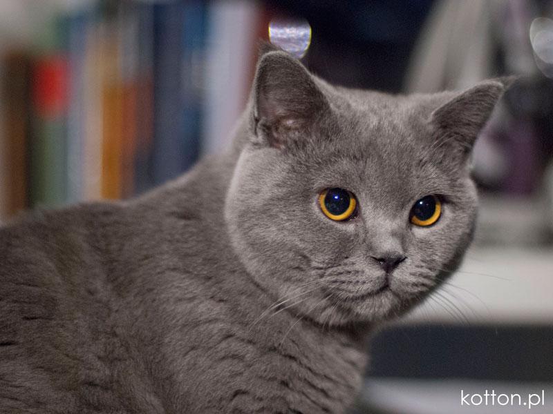 Britse kat - Dit is een Britse kat genaamd Zdzisław (serieus) (6×6)