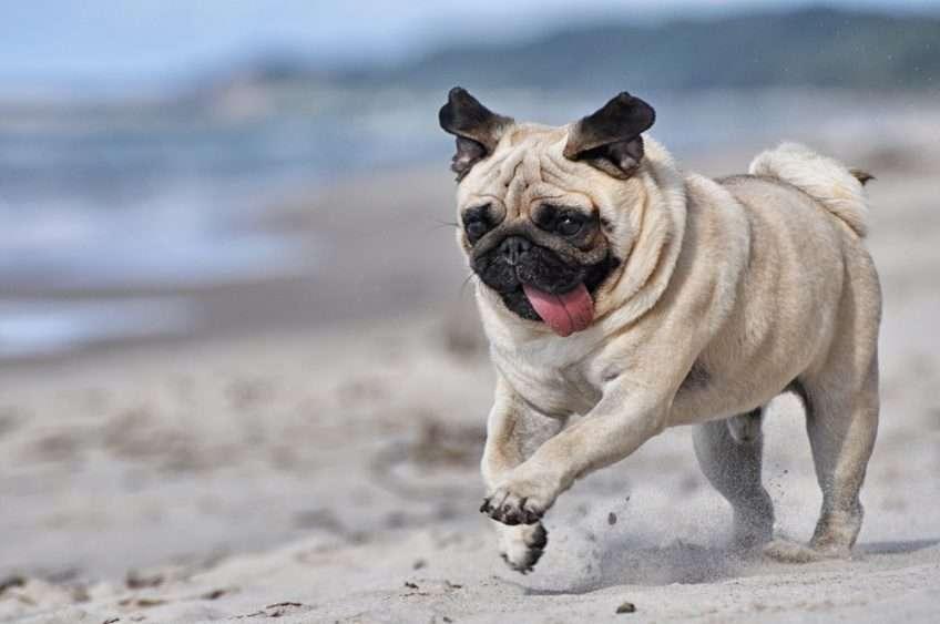 mops na plaży - Sueño con un pug en la playa (3×3)