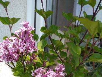 lilak miniaturka - pięknie pachnące kwiaty balkonowe