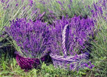 Baskets of lavender - Beautiful baskets with lavender.