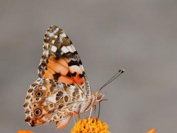 Motylem jestem - Cudowny motyl w pięknych barwach