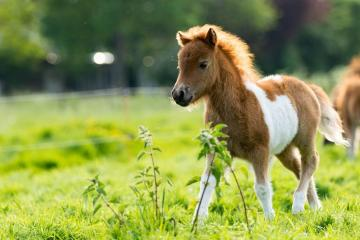 horse calf - Horse calf runs over meadow